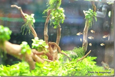 熱帯魚の水槽、ラスボラは好きな魚です
