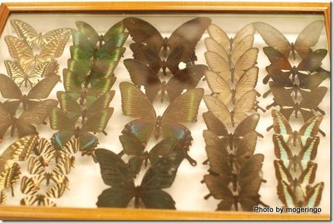 もうなんの蝶々か分かりません