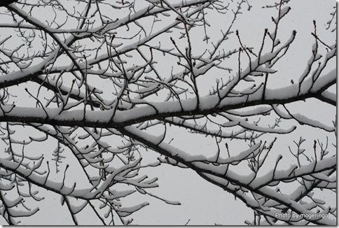 雪を被る木